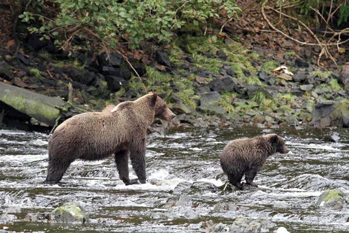 kayaking with brown bears